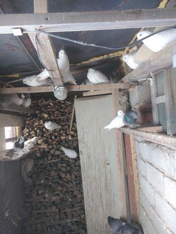 Продам голубей бакинцев