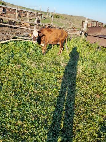 Продаю Корову  молочную