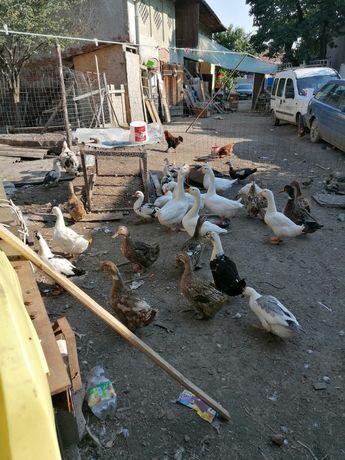Vând găini și rațe