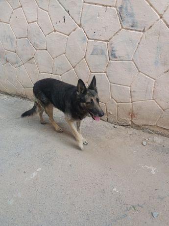 Пропала собака немецкая овчарка в районе  Айнабулак