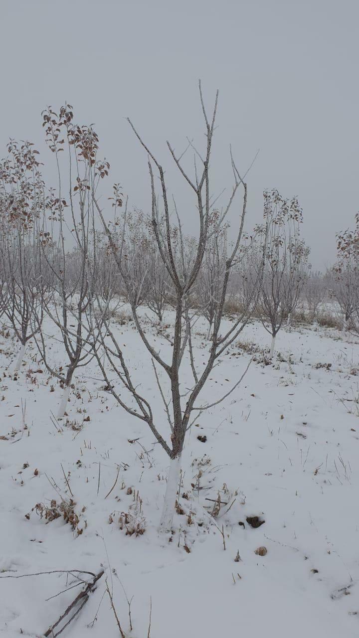 Осенняя обрезка плодово ягодных деревьев. Спил больных деревьев.