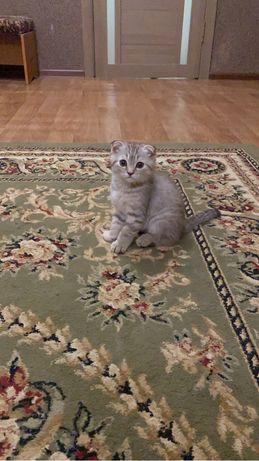 Шотланский вислоухий котик