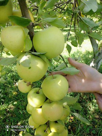 Продам яблоки на корню