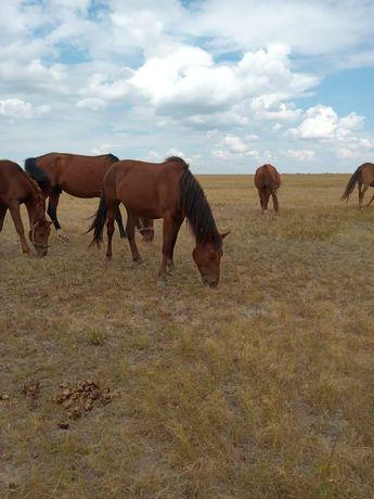 Продам лошадей   бие,байтал.