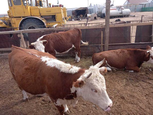 продам  крупно рогатый скот тёлки