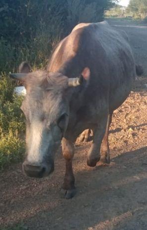 Продам корову, стельная 350000, возможен  торг