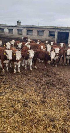 Продам телят бычков коров пароды Ангус сементал герефорд белоголовые