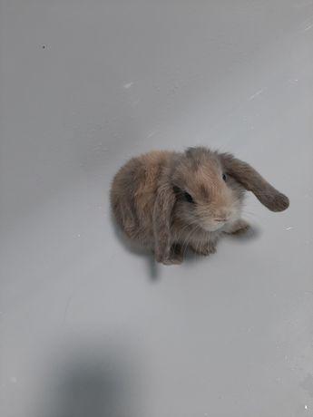 Продам декаративного вислоухого кролика.