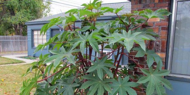 Семена садовой пальмы занзибарской
