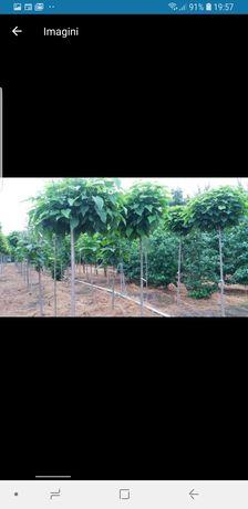 Vindem copac catalpa de 3/4metri