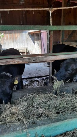 Vand 3 vitele Angus și 1 vitica Charolais