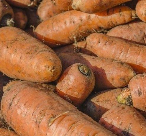 Seminte morcov furajer pentru animale