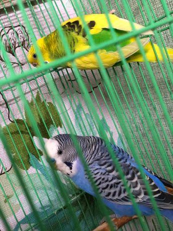 Продам пару волнистых попугаев с клеткой