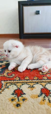 Шотландский котенок вислоухий скоттиш фолд