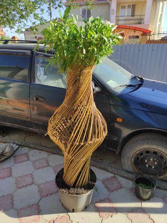 Плетённые деревья (саженцы)