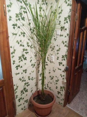 Пальма дерево