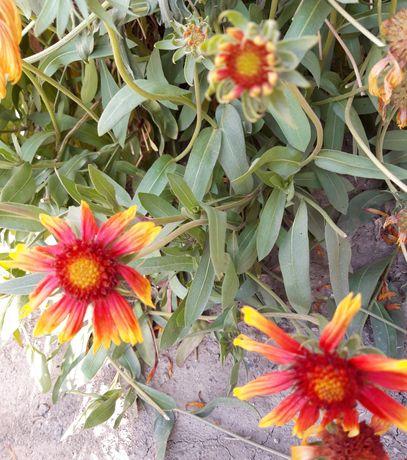 Продам многолетние цветы.