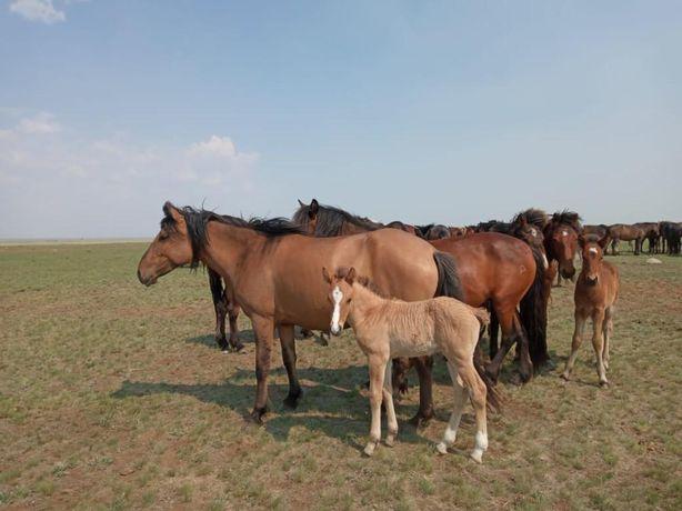 Продается 9 голов лошадей