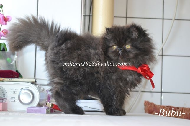 Pui pisica persana  !