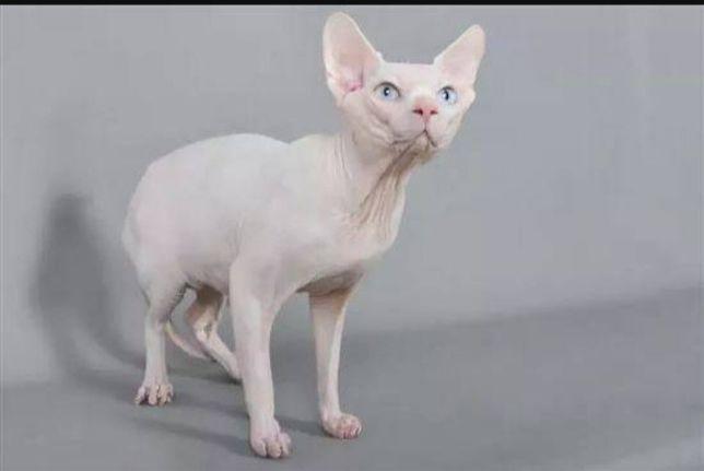 Продам котёнка сфинкс