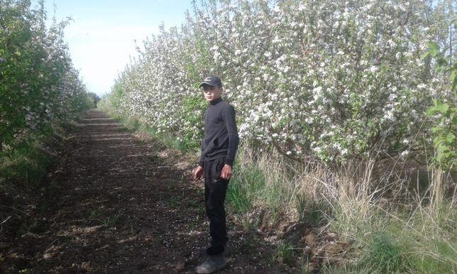 Продам яблоневый сад 6.3 га