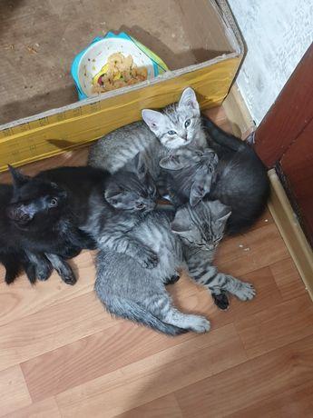 Отдам 3-х месячных котят бесплатно, к лотку приучены ,мать шотланка