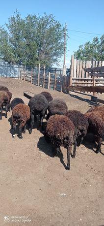 Продам овец . Токты.