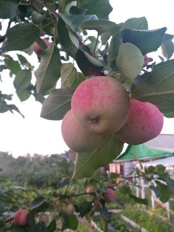 Продам яблоки дачные,  зонтики укропа нв засолку