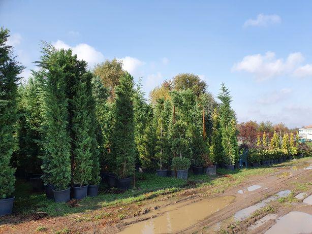 Leylandii 3.5 m crescuti in ghiveci de la pepiniera de leylandii!