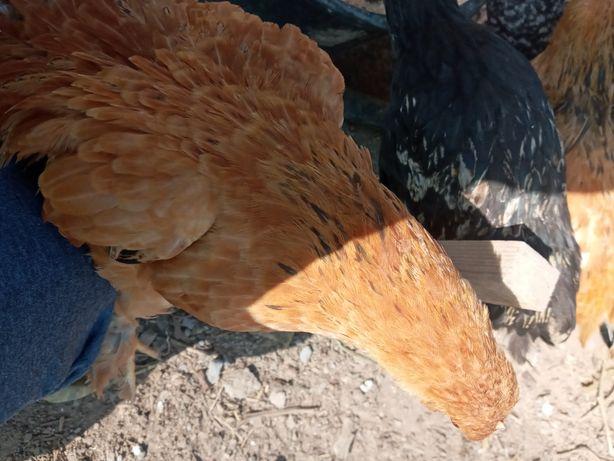 Яица для инкубатора, цыплята, куры