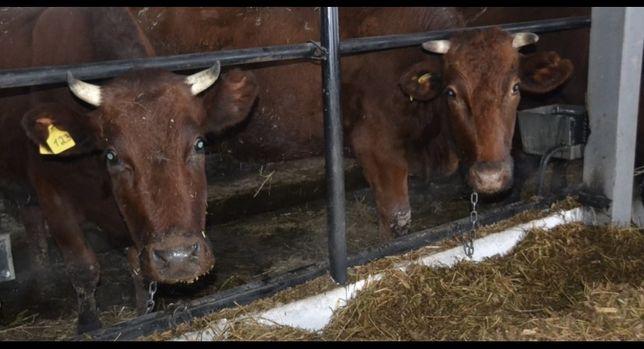 КРС,10голов, коровы, телята Срочно, оптом