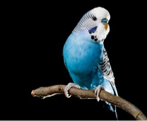 Волнистики молодые попугаи