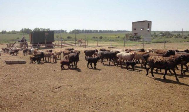 Ягнята бараны овцы мрс плем меринос романовские гиссарские