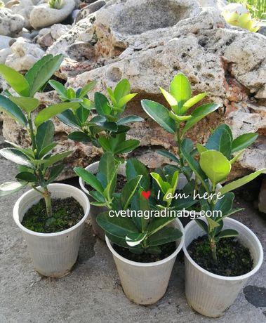 Крушка, Японски чашкодрян Euonymus japonica
