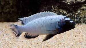 Продам рыбку превдотрофеус полит