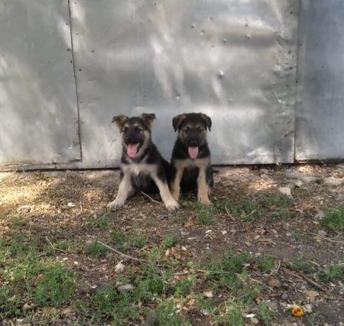Продам щенков восточно- европейской овчарки