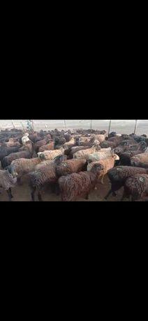 Бараны,овцы оптом