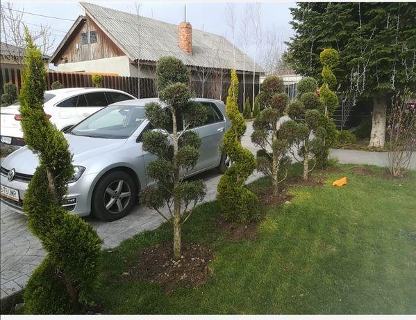Vind Magnolie grandi flora /arțar japonez /palmier /photinia