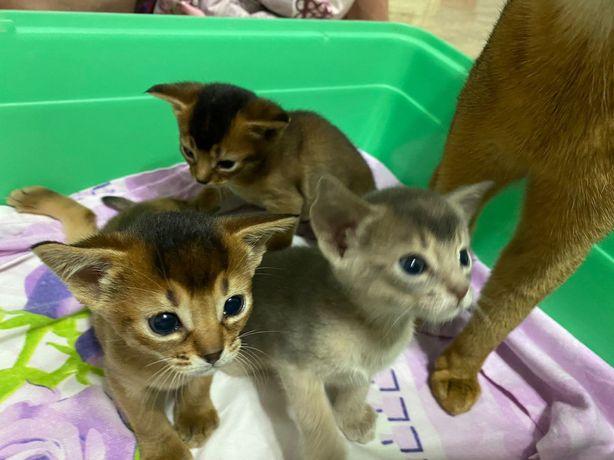 Котята абиссинцы ищут новых хозяев! 2 девочки  и 1 мальчик