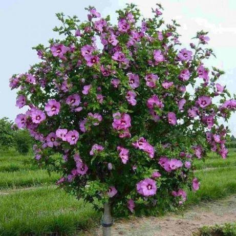 Сирийская роза древовидная