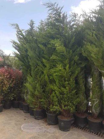 Vând tuia smarald columna braband lelandy palmieri si multe altele