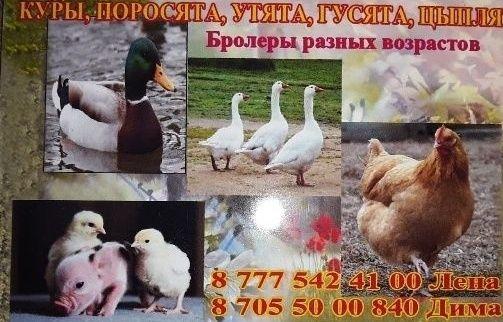 куры молодки цыплята бролеры утята гусята поросята