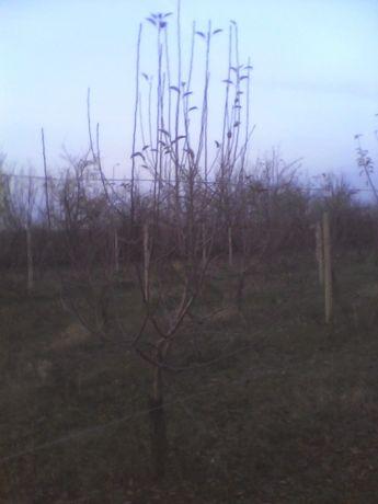 Taieri pomi fructiferi,arbusti,mur,coacaz,zmeur,trandafir,vita de vie