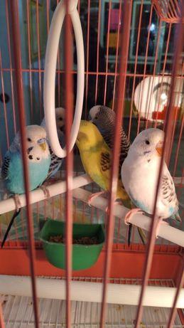 Продаются попугаи волнистые