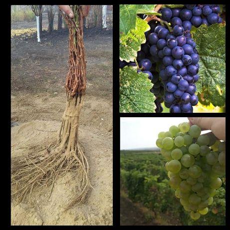 Pomi fructiferi si butasi vita de vie