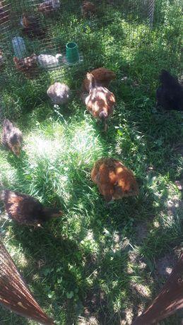 Продам цыплят 1000