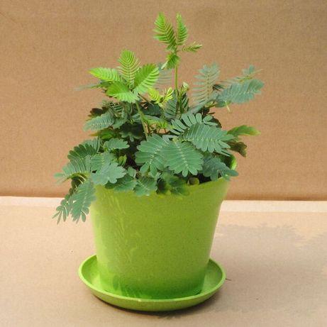 15 seminte Mimosa Pudica - planta reacționează la atingere