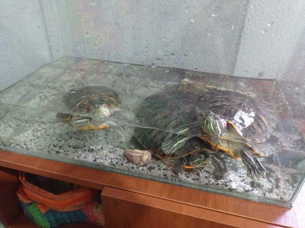 Красноухие водные черепахи