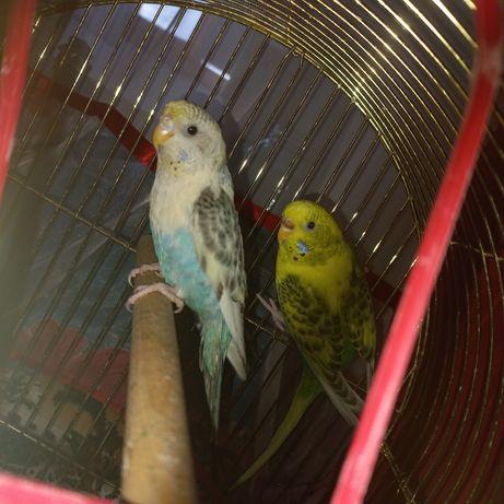 Продам волнистых попугаев.