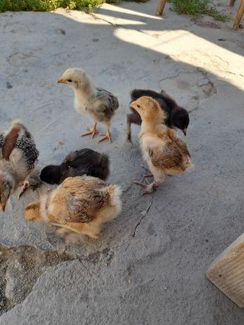 Цыплята брама месячные 10 штук и трёхмесячные по 2500